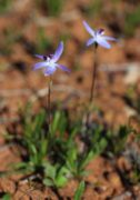 Cyanicula amplexans - Dainty Blue Orchid