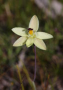 Thelymitra antennifera - Lemon-scented Sun Orchid