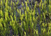 Microtis atrata - Swamp Mignonette Orchid