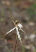 Caladenia x enigma - White Dragon