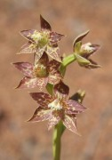 Thelymitra benthamiana - Leopard Orchid