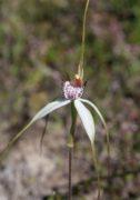 Caladenia longicauda subsp. borealis - Daddy-long-legs Spider Orchid