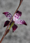 Elythranthera brunonis - Purple Enamel Orchid