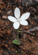 Caladenia ixioides subsp. candida - White China Orchid