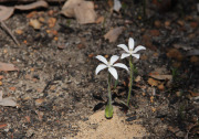 Cyanicula ixioides subsp. candida - White China Orchid
