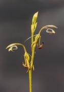 Spoculaea ciliata - Elbow Orchid