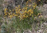 Diuris corymbosa - Common Donkey Orchid