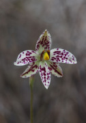 Thelymitra cucullata - Swamp Sun Orchid