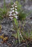 Prasophyllum cucullatum - Hooded Leek Orchid