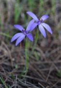 Pheladenia deformis - Blue Fairy Orchid