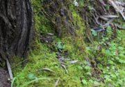 Corybas despectans - Sandhill Helmet Orchid