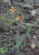 Caladenia discoidea - Dancing Spider Orchid