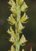 Prasophyllum elatum - Tall Leek Orchid