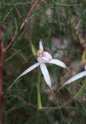Caladenia longicauda subsp. eminens