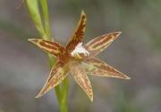 Thelymitra fuscolutea - Chestnut Sun Orchid