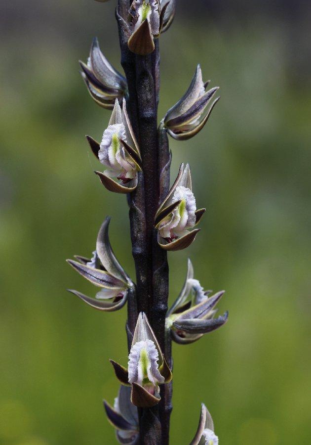 Prasophyllum giganteum - Bronze Leek Orchid