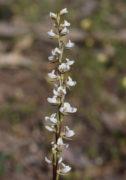 Prasophyllum hians - Yawning Leek Orchid