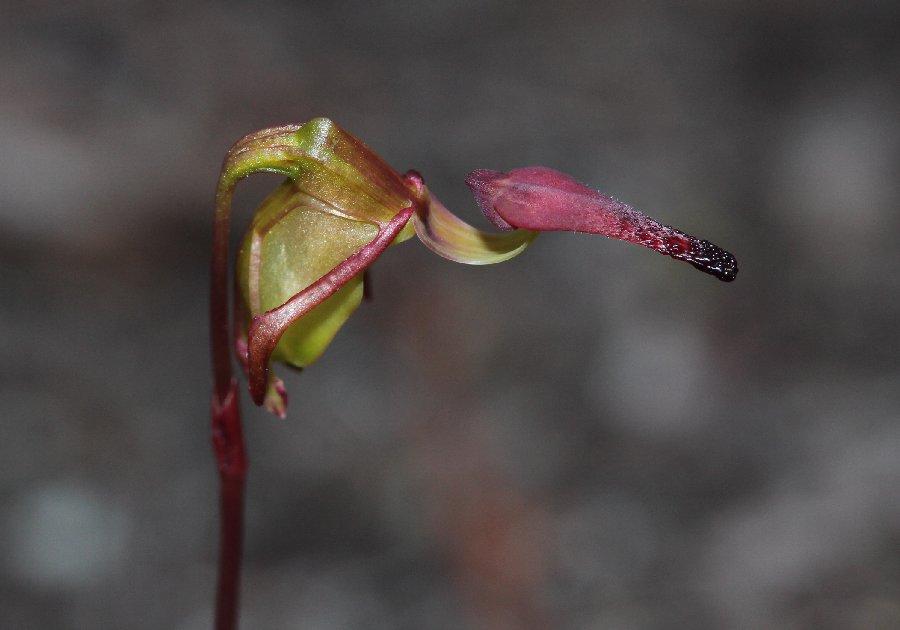 Paracaleana hortiorum - Hort's Duck Orchid