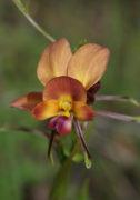 Diuris jonesii - Dunsborough Donkey orchid