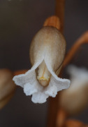 Gastrodia lacista - Bell Orchid, Potato Orchid