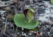 Corybas limpidus - Crystal Helmet Orchid