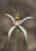 Caladenia bicalliata - Limestone and Sandhill Spider Orchids