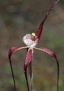 Caladenia chapmanii - Chapman's Spider Orchid