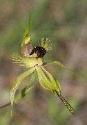 Caladenia crebra - Arrowsmith Spider Orchid