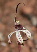 Caladenia drummondii - Winter Spider Orchid