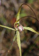 Caladenia elegans - Elegant Spider Orchid