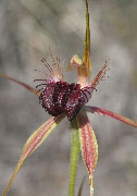 Caladenia huegelii, thinicola - Grand and Scott River Spider Orchids
