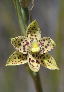 Thelymitra sargentii - Freckled Sun Orchid