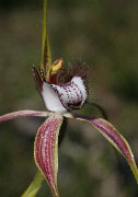 Caladenia serotina - Christmas Spider Orchid