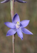 Thelymitra macrophylla - Scented Sun Orchid