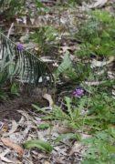 Leptoceras menziesii - Rabbit Orchid