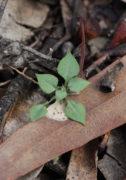 Pterostylis microglossa - Kalbarri Shell Orchid