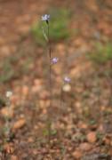 Thelymitra mucida - Plum Orchid
