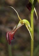Cryptostylis ovata - Slipper Orchid