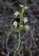 Prasophyllum parvifolium - Autumn Leek Orchid