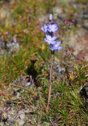 Thelymitra petrophila - Granite Sun Orchid