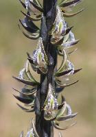 Prasophyllum Leek Orchids