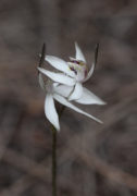 Ericksonella saccharata - Sugar Orchid