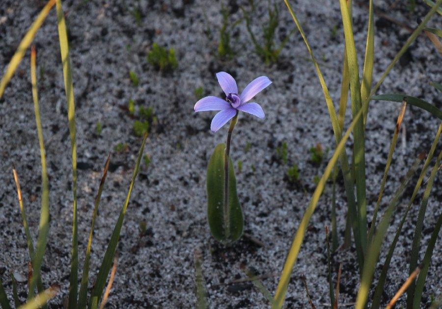 Cyanicula secicea - Silky Blue Orchid