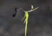 Drakaea thynniphila - Narrow-lipped Hammer Orchid
