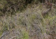 Thelymitra uliginosa - Southern Curly Locks