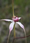 Caladenia longicauda x - Unknown hybrid