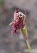 Calochilus uliginosus - Swamp Beard Orchid