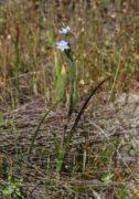 Thelymitra vulgaris - Slender Sun Orchid