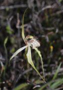 Caladenia x enigma - Enigmatic Spider Orchid