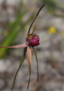 Caladenia applanata - Broad-lipped Spider Orchid